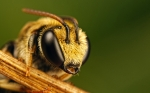 Animals_Insects_Bee_024762_