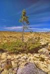 äldsta träd